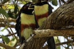 Bruinoor Arassari | Chestnut eared Aracari