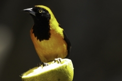 Amazone Troepiaal | Orange backed Troupial