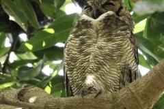 Amerikaanse Oehoe | Great Horned Owl