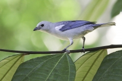 Bisschops tangare | Blue gray Tanager
