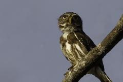 Braziliaanse dwerguil | Ferruginous pygmy owl