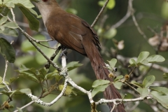 Eekhoornkoekoek | Squirrel Cuckoo
