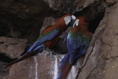 Groenvleugelara | Red and green macaws
