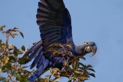 Hijacinth ara | Hyacinth Macaw