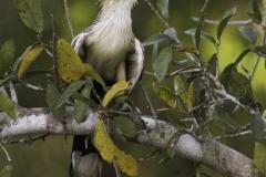 Zuidamerikaanse kuifkoekoek | Guira Cuckoo