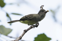 Apical Flycatcher Cauca Valley Colombia