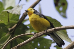 Golden-fronted-Whitestart-Chinzaga-NP-Colombia-3-12-13-RG