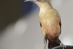 Great-tailed-Grackle-Santa-MartaColomba-13-12-13.-RG