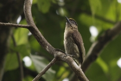 Greyish-Piculet-Cauca-Valley-Colombia-8-12-13.-RG