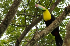 Keel-billed-Toucan-Santa-Marta-Mountains-14-12-13.-RG