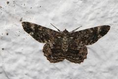 Moth-La-mariposa-negra