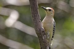 Red-Crowned-WoodpeckerLas-Tangaras-Colombia-12-12-13.RG_