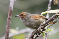 Red-faced-Spinetail-Las-Tangaras-Colombia-12dec-2013.-Roodkruintangare-RG-2