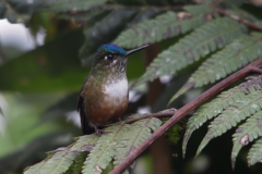 Violet-tealed-sylphLas-Tangaras-Colombia.-11dec-2013.-Violetstaartnimf-RG