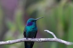 VioletearEl-Dorado-Bird-Reserve-Colombia.-15-12-13-1