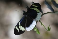 Vlinder-papilio-anchisiades-2