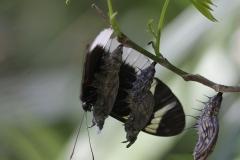 Vlinder-papilio-anchisiades-3