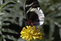 Vlinder-papilio-anchisiades