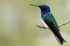 White-necked-JacobinSanta-Marta-Mountains-Colombia-14-dec-2013.-Witnekkolibrie-RG