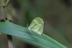 vlinder-Andean-Gras-yellow