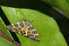 vlinder-Blotched-Leopad