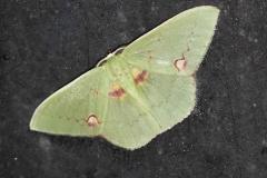 vlinder-Chlororchlamys-chloroleucaria-Smal-green-moth