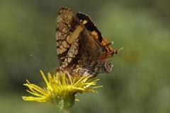 vlinder-Hyparnartia-Lethe.