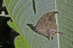 vlinder-Mariposa-Hoya
