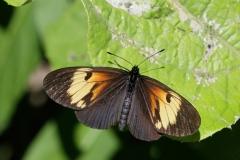 vlinder-Melinaea-marsaeus-messenina.