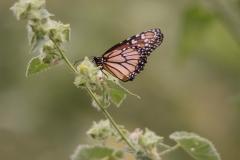 vlinder-Monarch-Butterfly