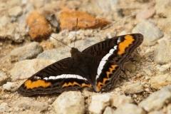 vlinder-Orange-banded-Gem