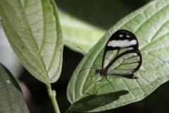 vlinderGlass-Winged-Butterfly