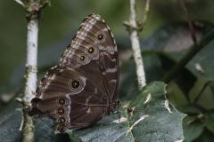 vlinderMorpho-Peleides