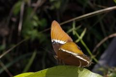 vlinderSiproets-epaphus