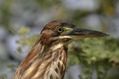 Groene reiger | Green Heron