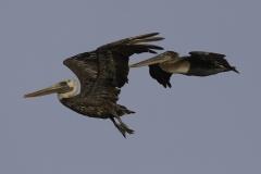 Bruine pelikaan | Browm pelican