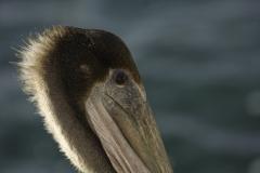 Bruine pelikaan | Brown pelican
