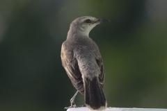 Caribische spotvogel | Tropical Mockingbird