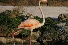 Flamingo | greater Flamingo