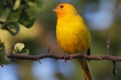 Gewone Saffraangors | Saffron Finch