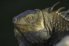 Groene Leguaan | Green Iguana