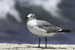 Lachmeeuw | Laughing Gull