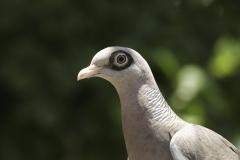 Naaktoogduif | Bare eyed Pigeon