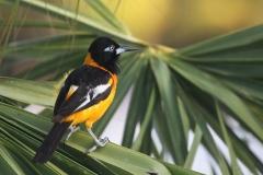 Oranje troepiaal | Venezuelan Troupial