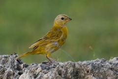 Saffraan vink Saffron Finch