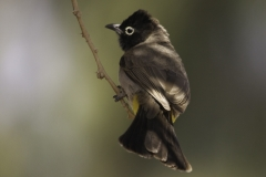 Arabische buulbuul | White spectacled Bulbul