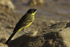 Balkan kwikstaart | Black headed Wagtail