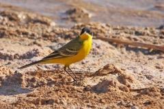 Balkankwikstaart   yellow wagtail
