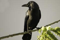 Huiskraai | House Crow