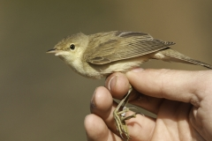 Kleine Karekiet | Eurasian Reed Warbler